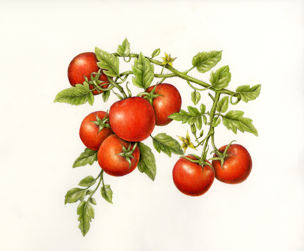 Drawn tomato Botanical lycopersicum to Learn Vegetables