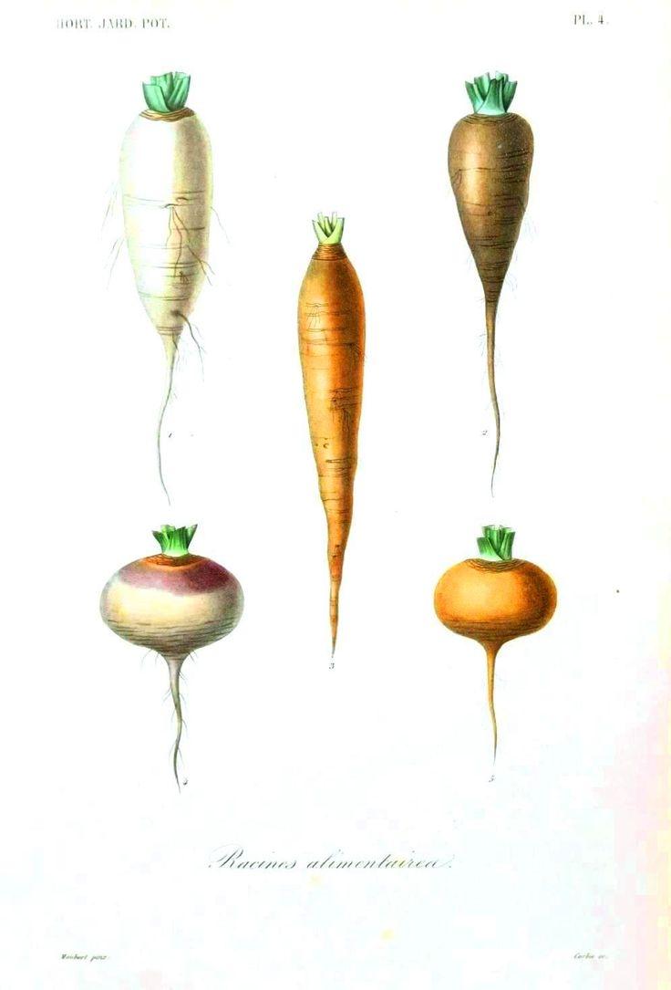 Drawn vegetable botanical illustration Kitchen Vintage about on Print