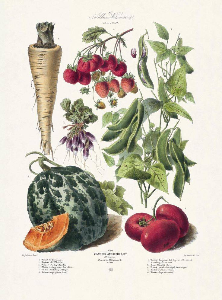Drawn vegetable botanical illustration Drawing Find best botanical Pin