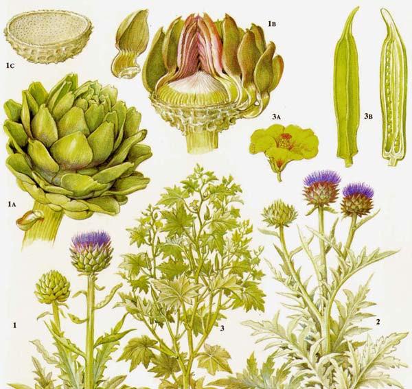 Drawn vegetable botanical illustration Okra artichoke flower Google drawing