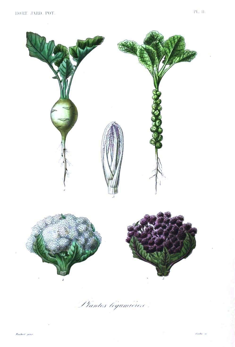 Drawn vegetable botanical illustration – at  – 3
