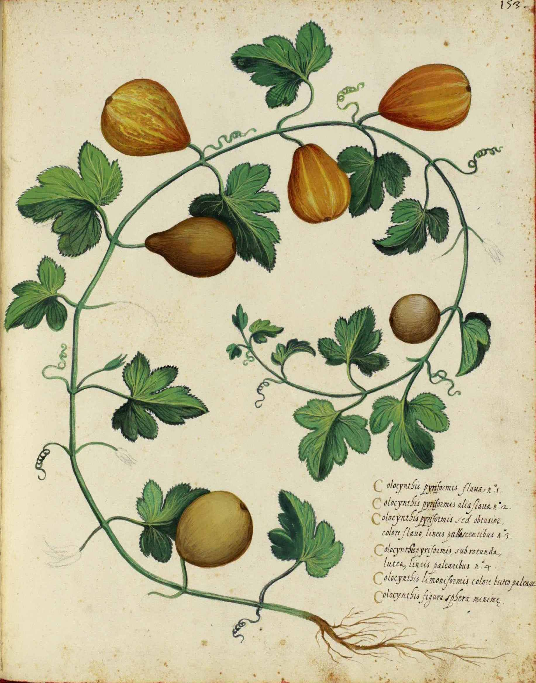 Drawn vegetable botanical illustration More 775 Flowers Member Botanical