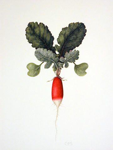 Drawn vegetable botanical illustration Have by 25+ Botanical Stephenson