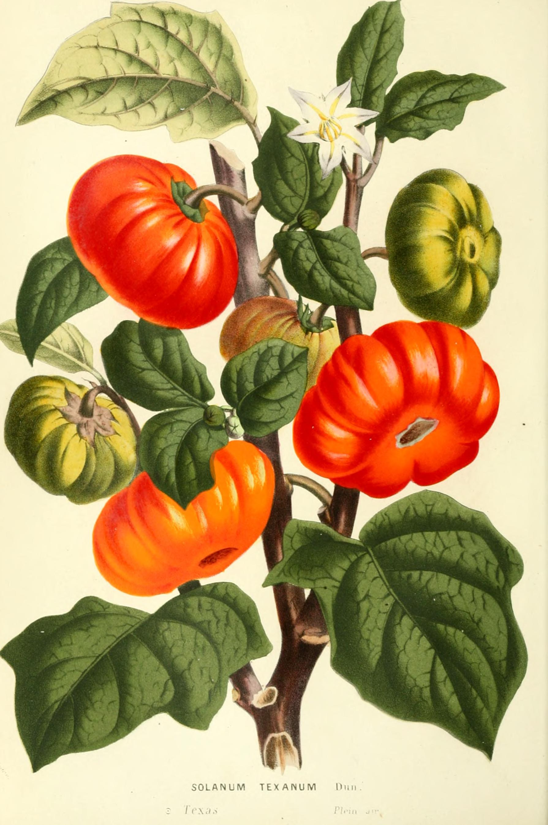 Drawn tomato Fruit fruit  fruits botanical