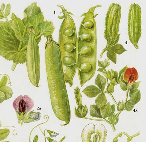 Drawn vegetable botanical illustration Food Peas  Vegetable Garden