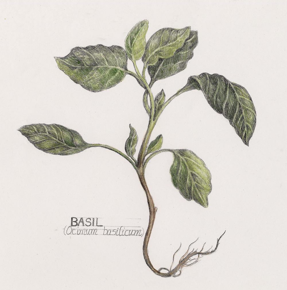 Drawn vegetable botanical illustration — Basil Illustrator to basilicum