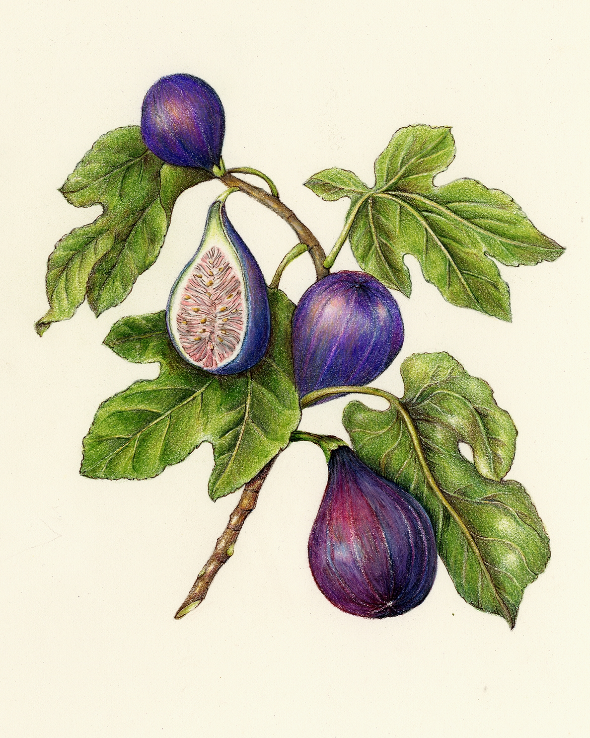 Drawn vegetables fruit and vegetable Botanical Artist illustrations & Fruits