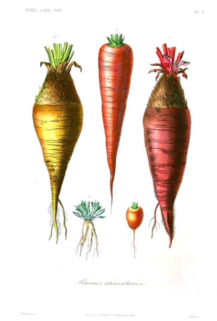 Drawn vegetable botanical illustration – Botanical ingestibles  vegetables