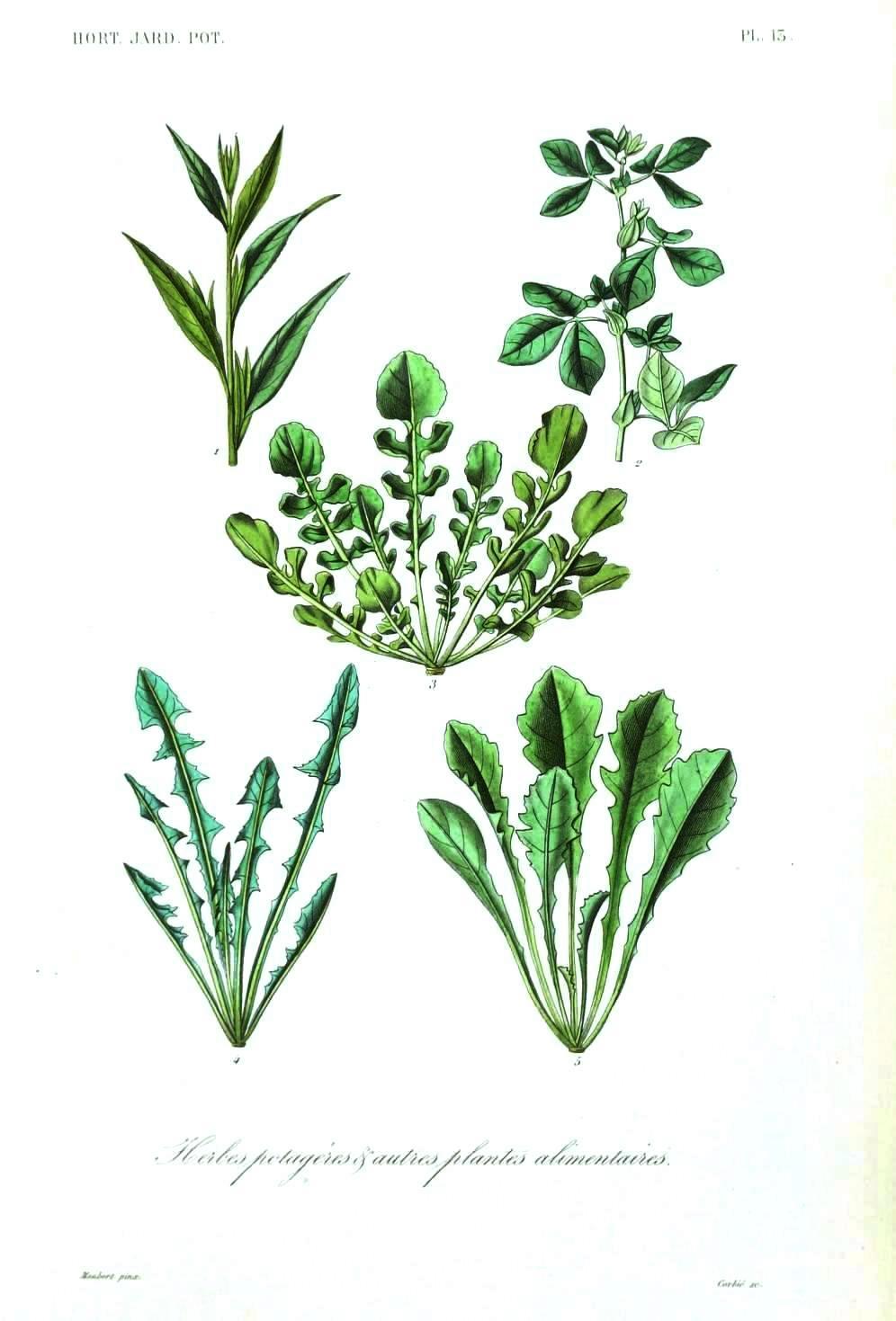 Drawn vegetable botanical illustration – at  – 5