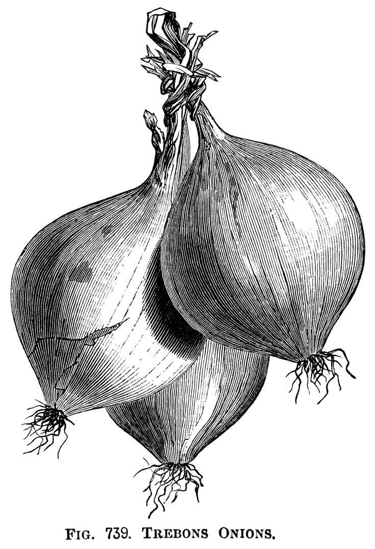 Drawn vegetable line art Onions illustration Art ~ Illustration