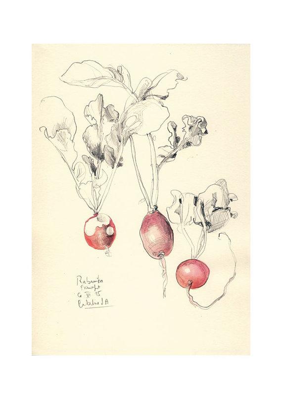 Drawn vegetable radish Radish Vegetable drawing Vegetable watercolor