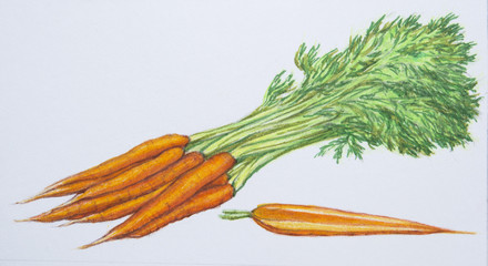 Drawn vegetable realistic Illustration Colored fresh Close section