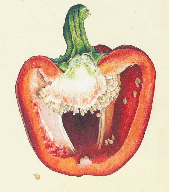 Drawn vegetable realistic Observation drawings about Pin and