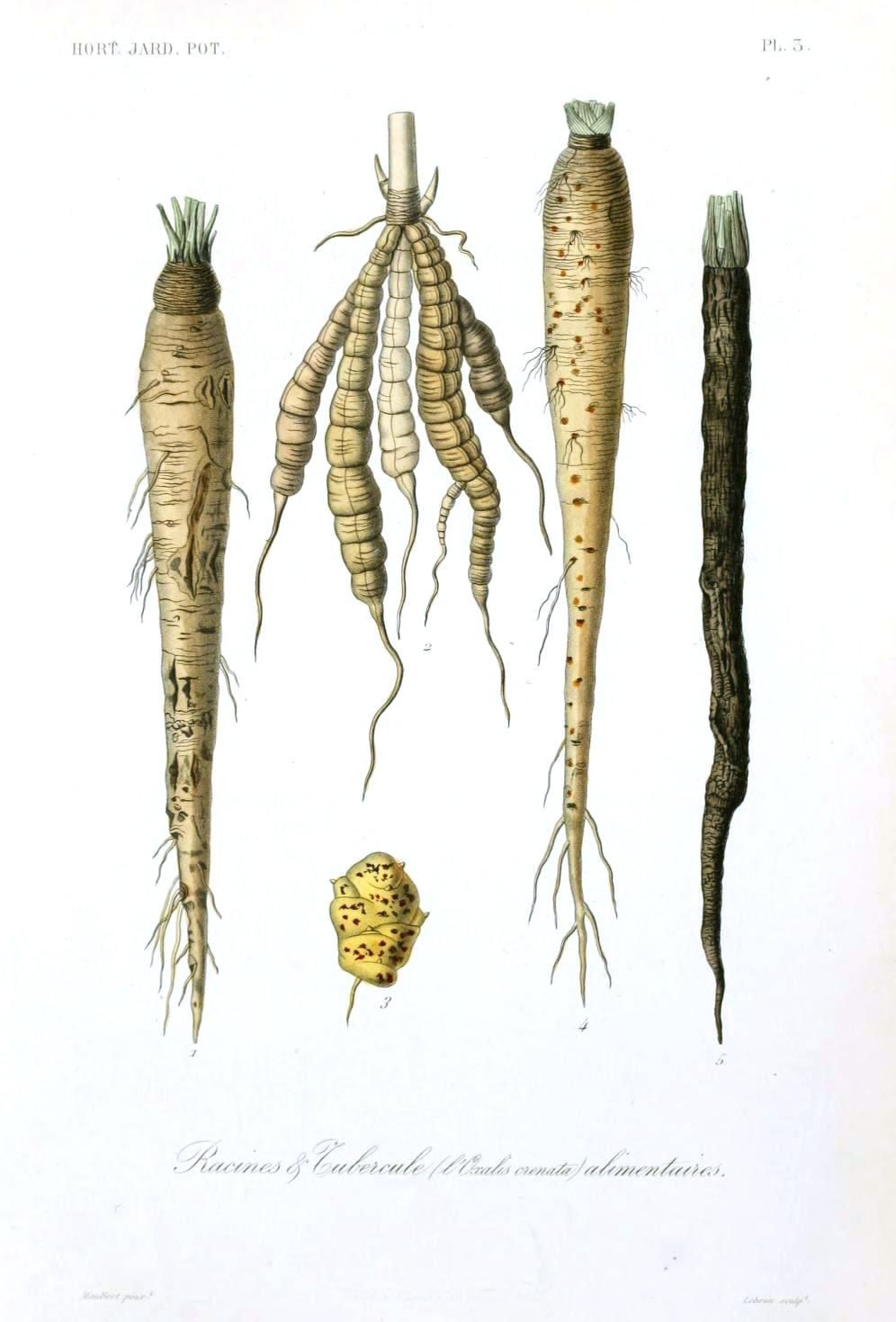 Drawn vegetable root vegetable Healthy Are Times Vegetables Roots