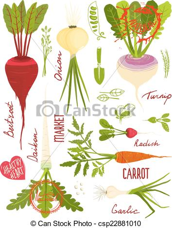 Drawn vegetable root vegetable Vegetables 211 and Root Root