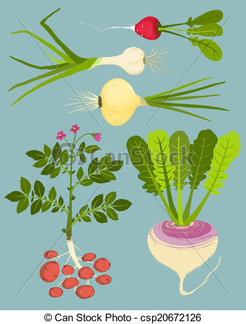 Drawn vegetable root vegetable Growing with Illustration Collection Vegetables