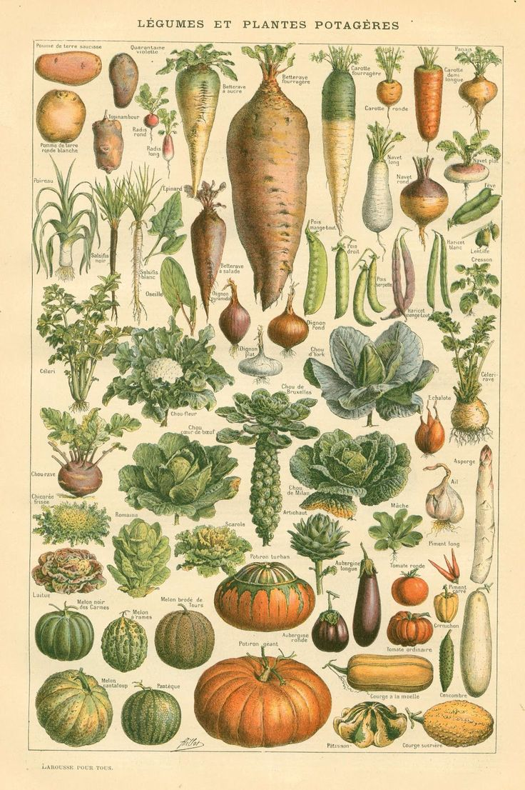 Drawn vegetable vintage Pinterest illustrations illustration on Of