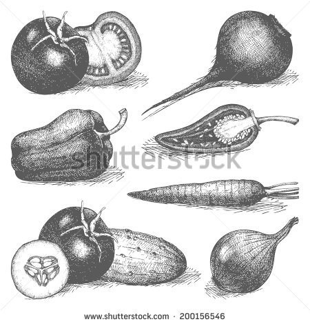 Drawn vegetables engraving Engraved drawn Vector Vector of