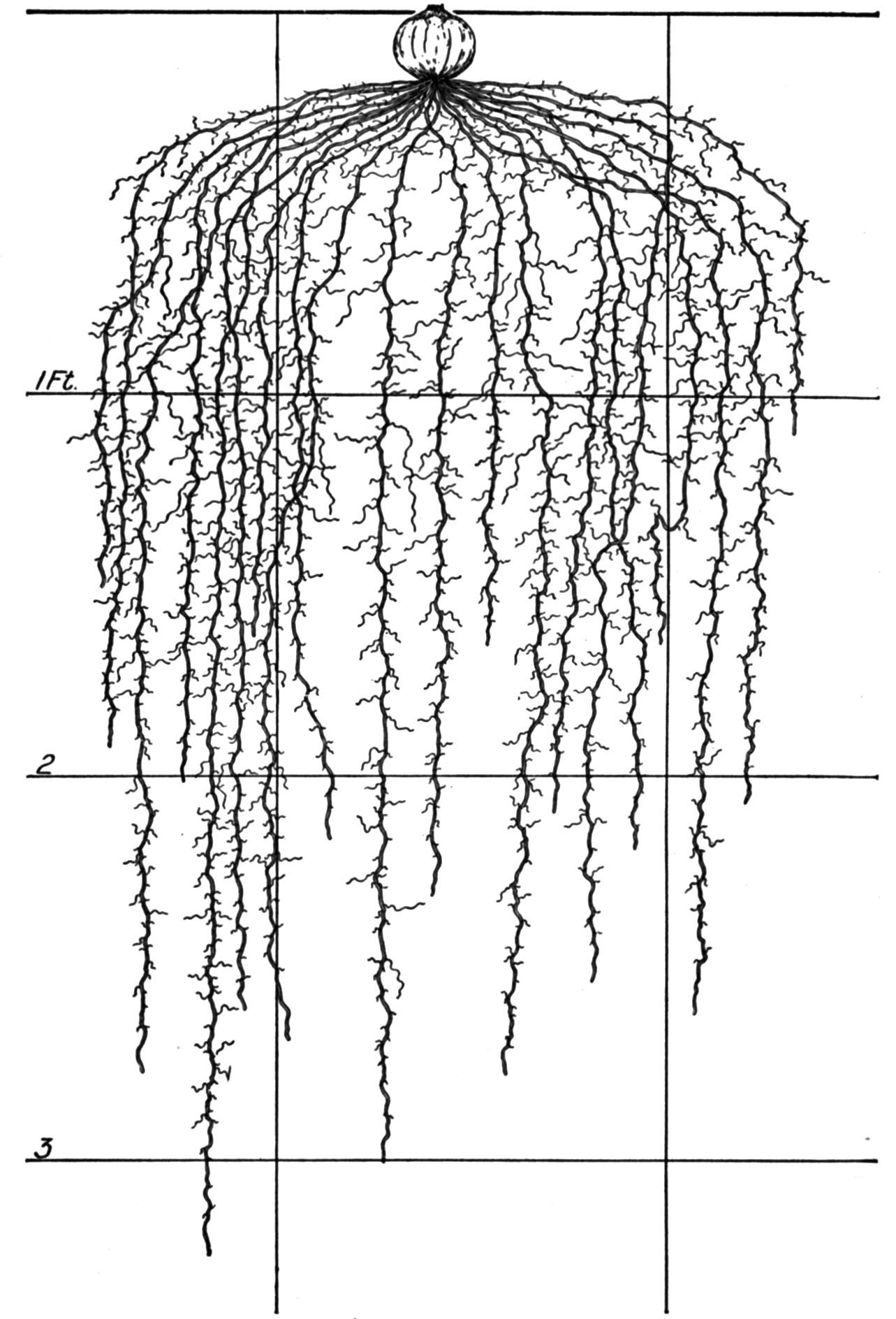 Drawn vegetables root vegetable  Vegetable Illustrations Crops: Root