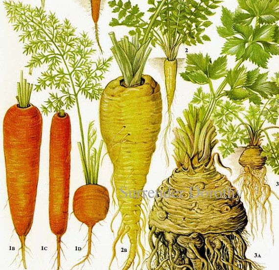 Drawn vegetables fruit and vegetable Food 175 Botanical Parsnip Carrot