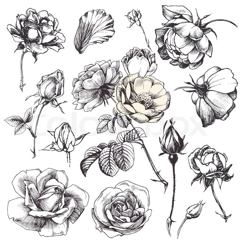 Drawn rose vintage ✓ 14 vector Vintage print