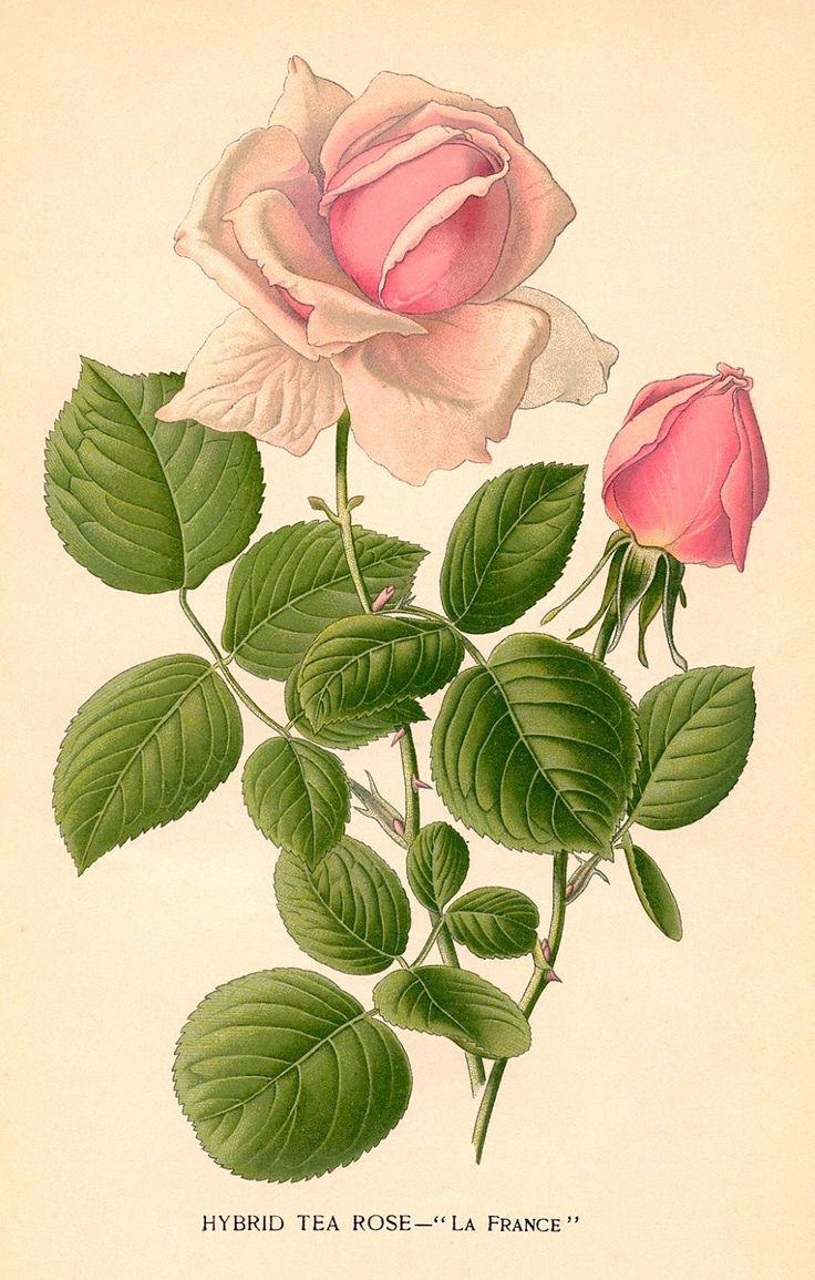 Drawn rose bush botanical illustration Images best rose botanical vintage