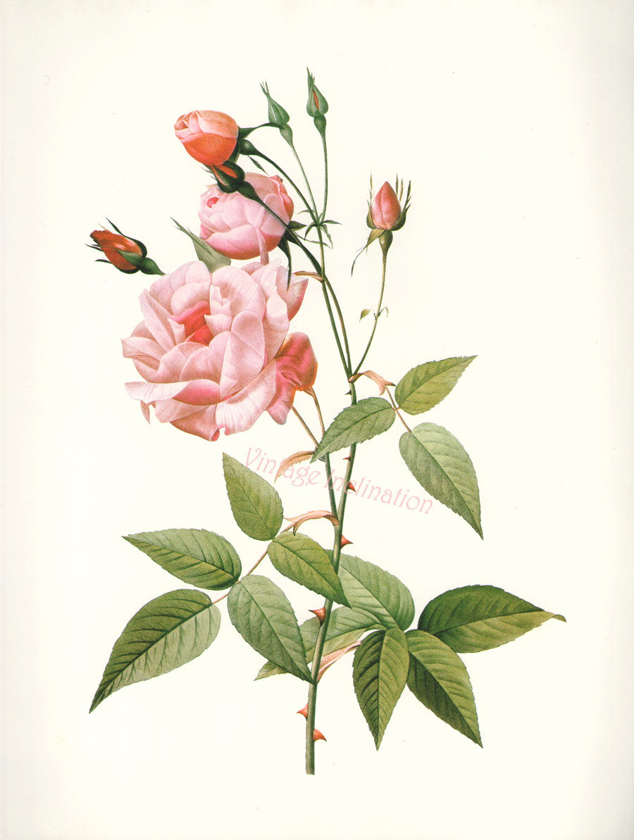 Drawn rose bush antique flower ROSE  Chinese Print to