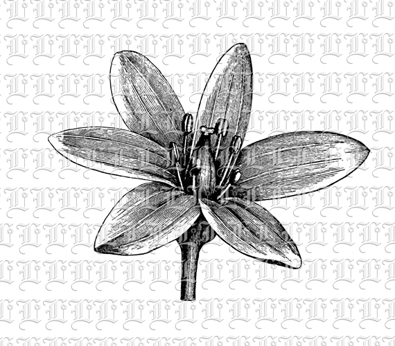 Drawn vintage flower lily Graphics Drawing Vintage – LIne