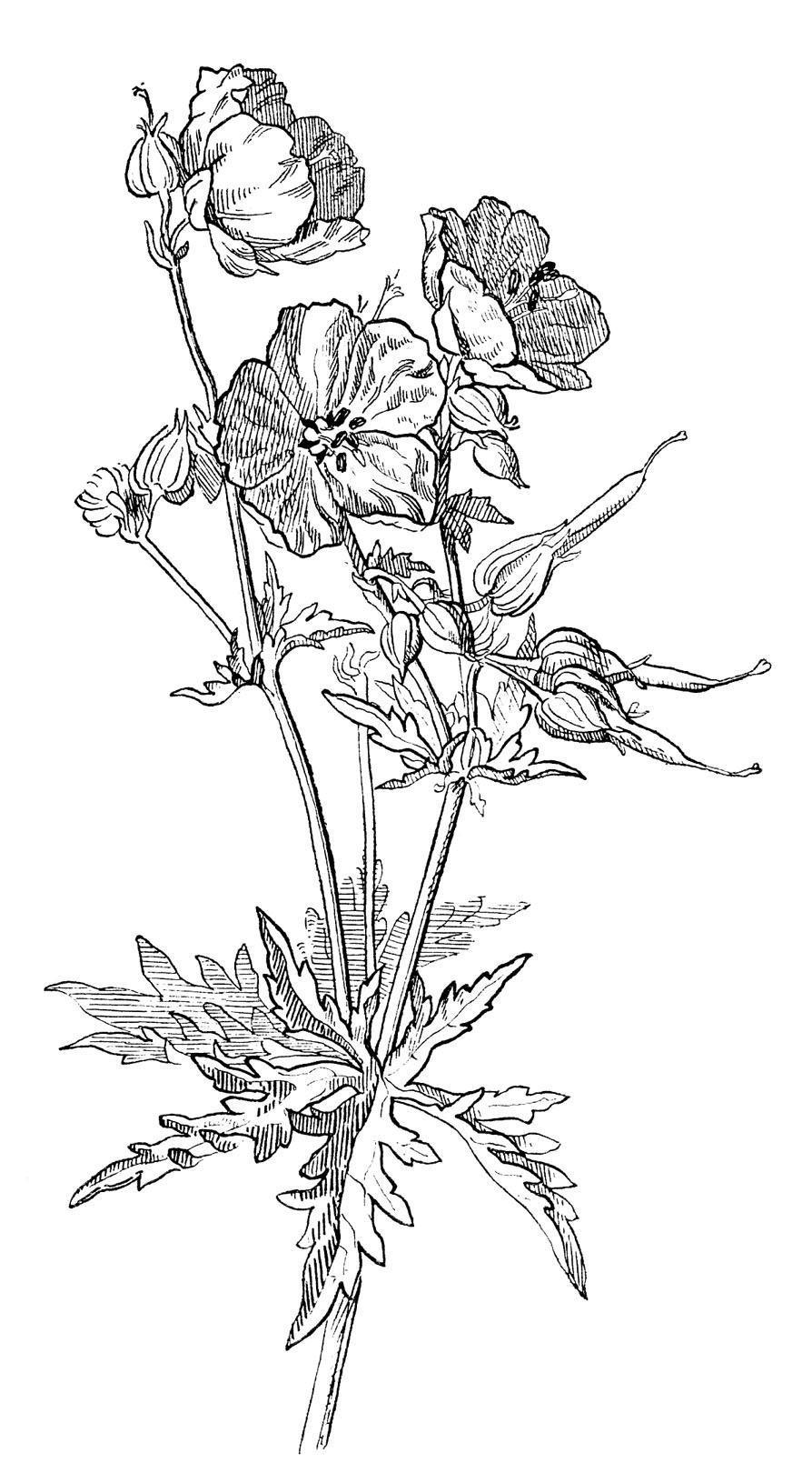 Drawn vintage flower line drawn Options Geranium 4 Beautiful Drawing