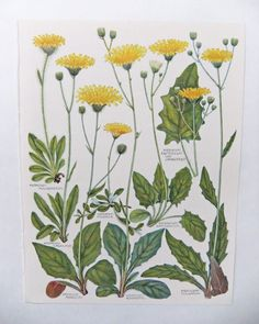 Drawn vintage flower old Flowers botanical two com yellows