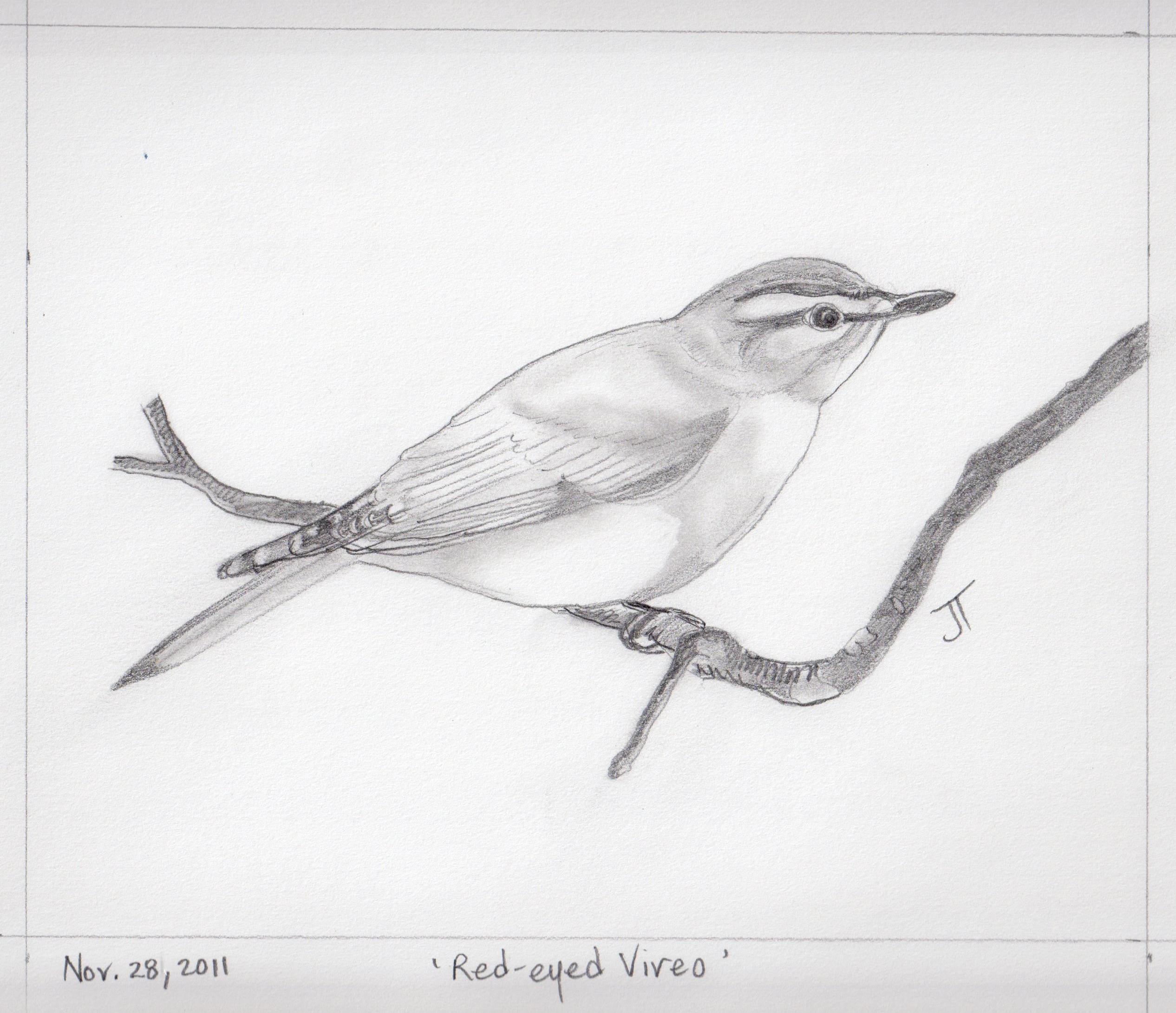 Drawn vireo Drawings nichepoetryandprose pencil gallery of