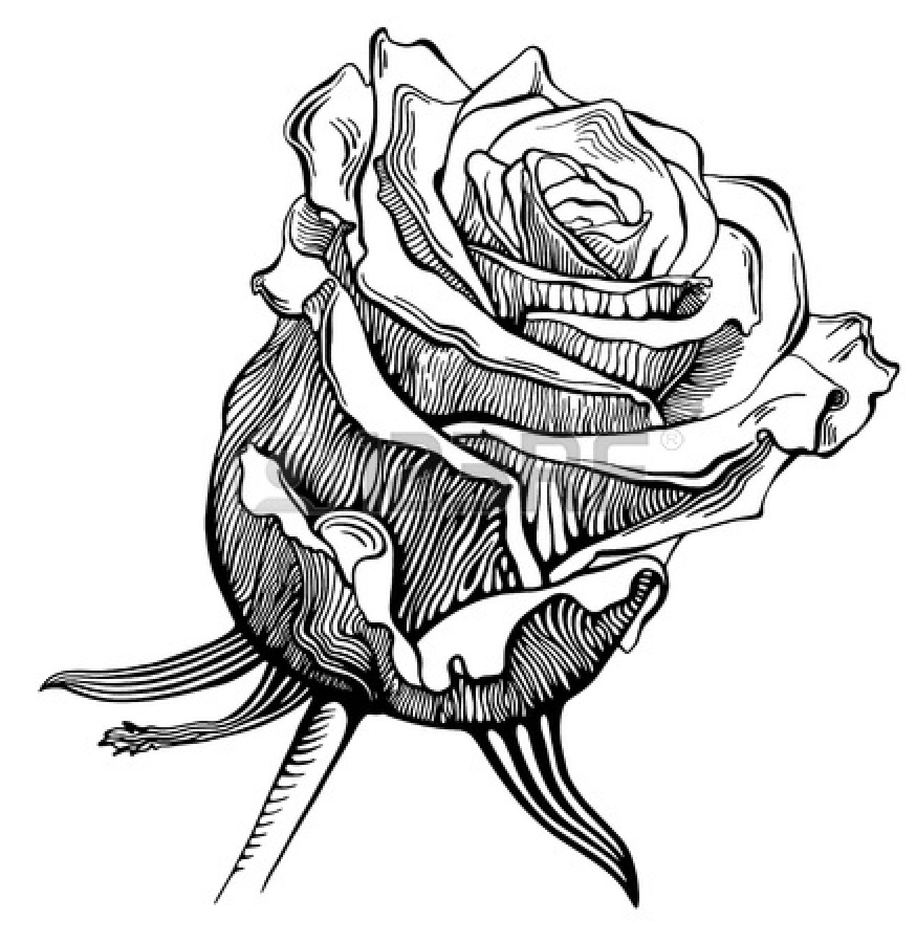 White Rose clipart sketch #3