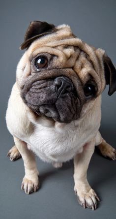 Drawn wallpaper pug For Puppies Animal Pugs Cute