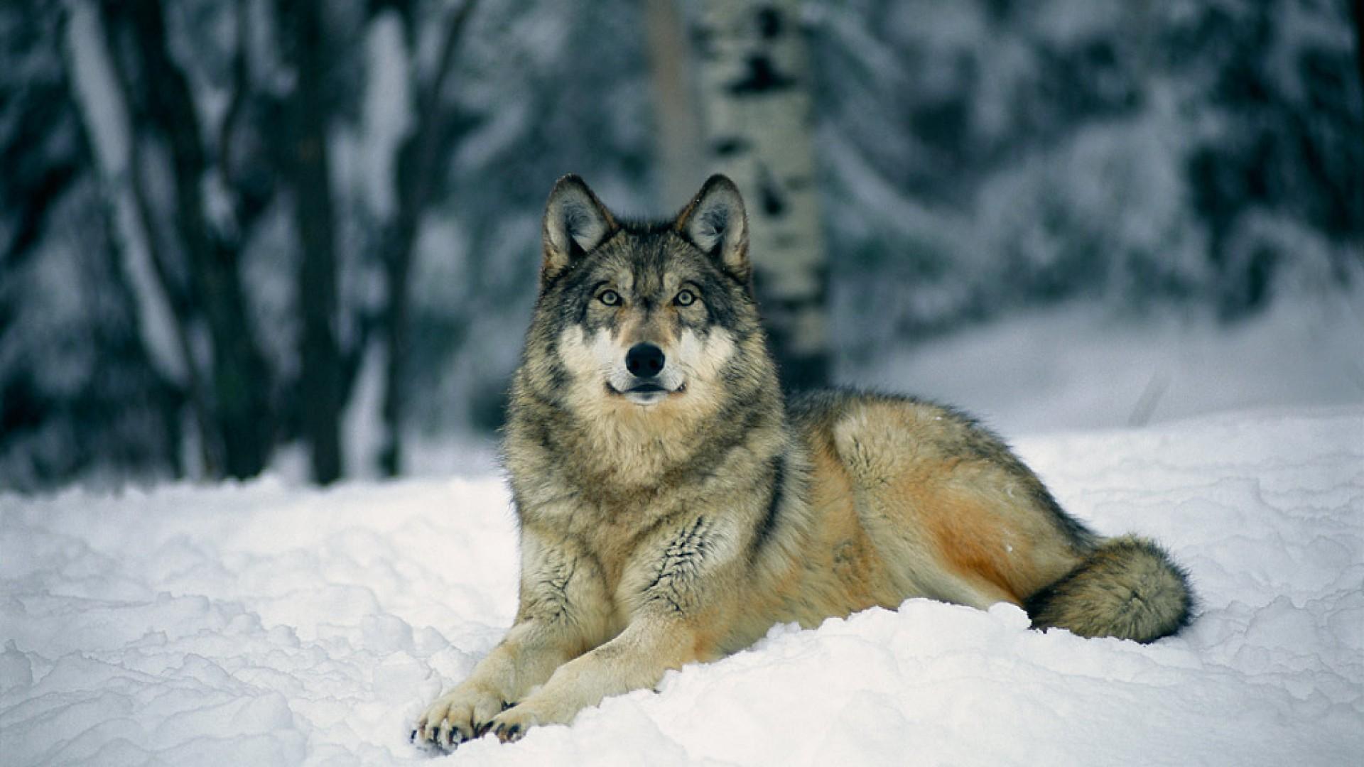 Drawn wallpaper pug Pug Desktop pup wallpaper wolf