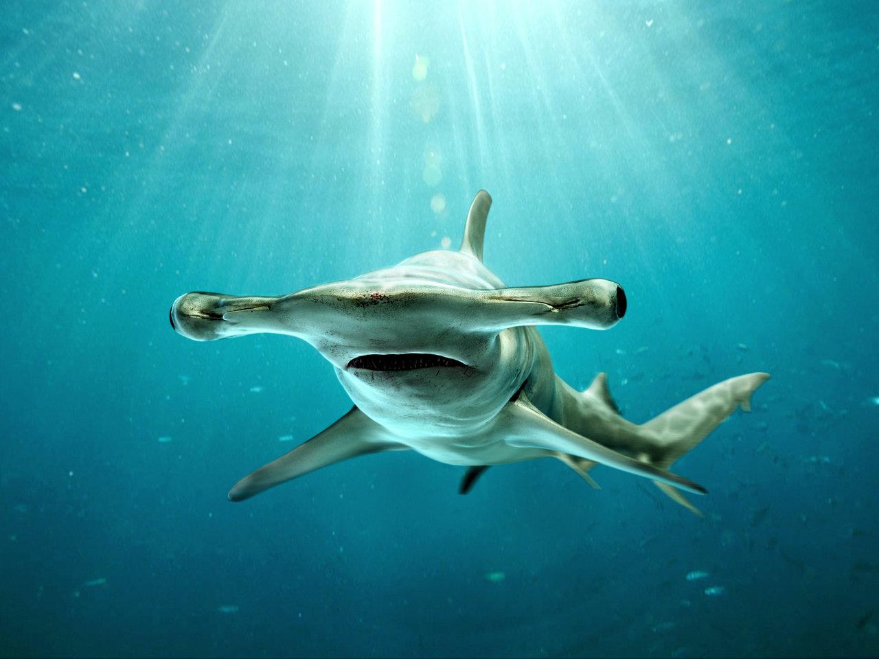 Hammerhead clipart shark head Shark Shark Hammerhead Hammerhead wallpaper