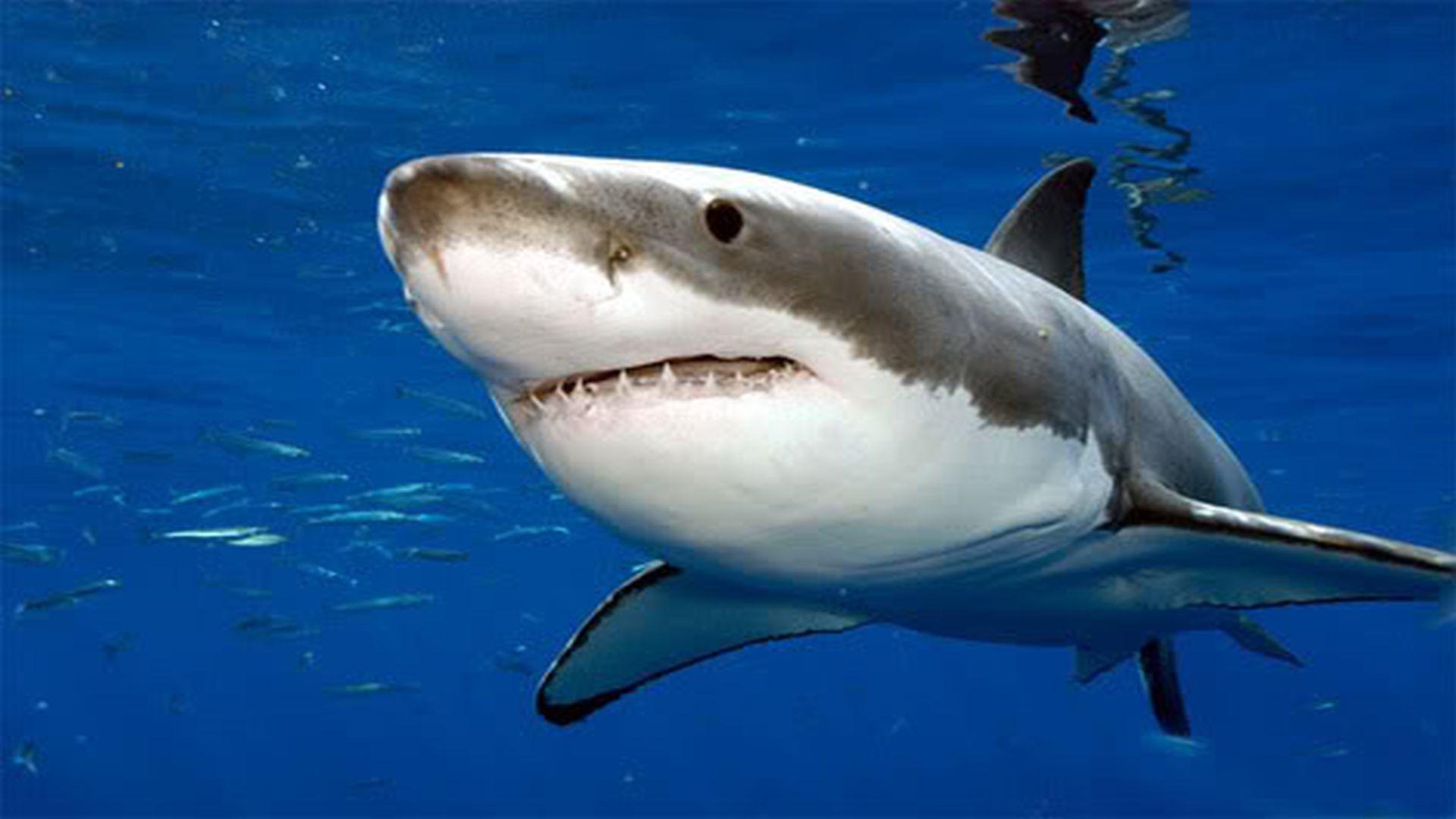 Shark clipart great white shark #10