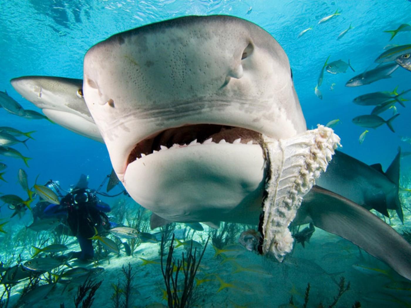 Hammerhead clipart tiger sharks Realistic Drawing Baby Cute Shark