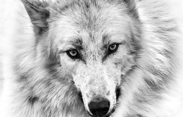 Drawn wallpaper wolf Wolf Wallpaper Eye 30462wall Wolf