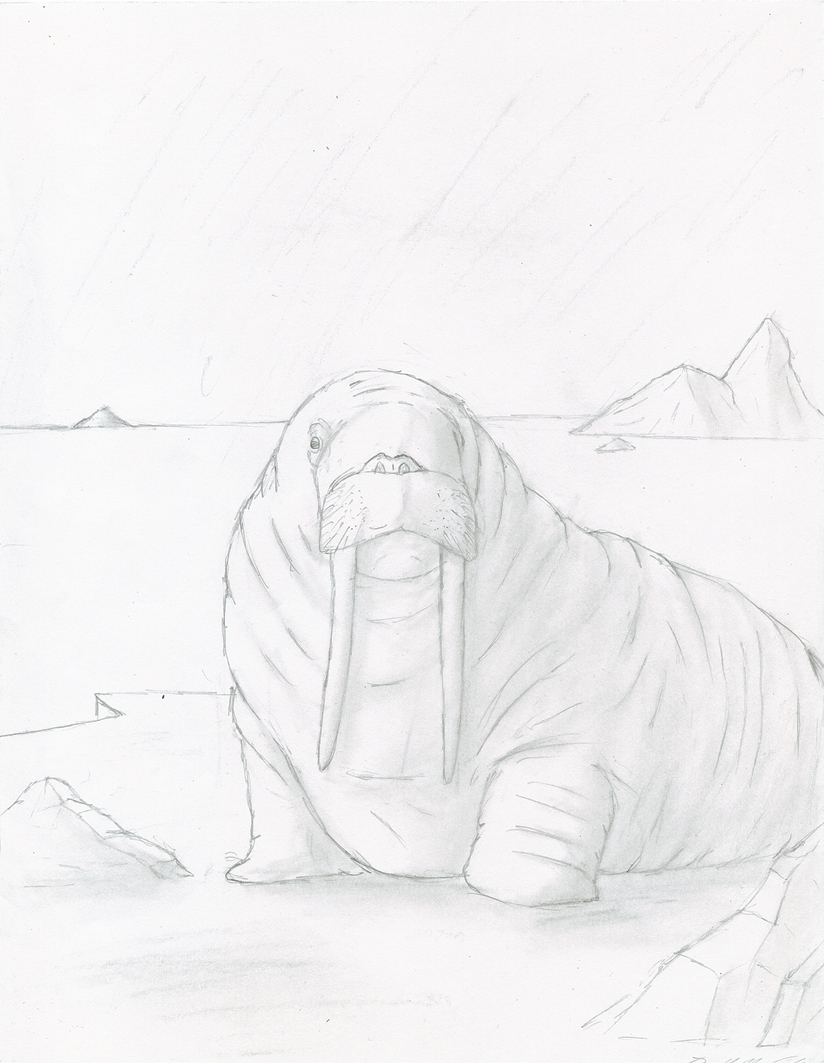 Drawn walrus #13