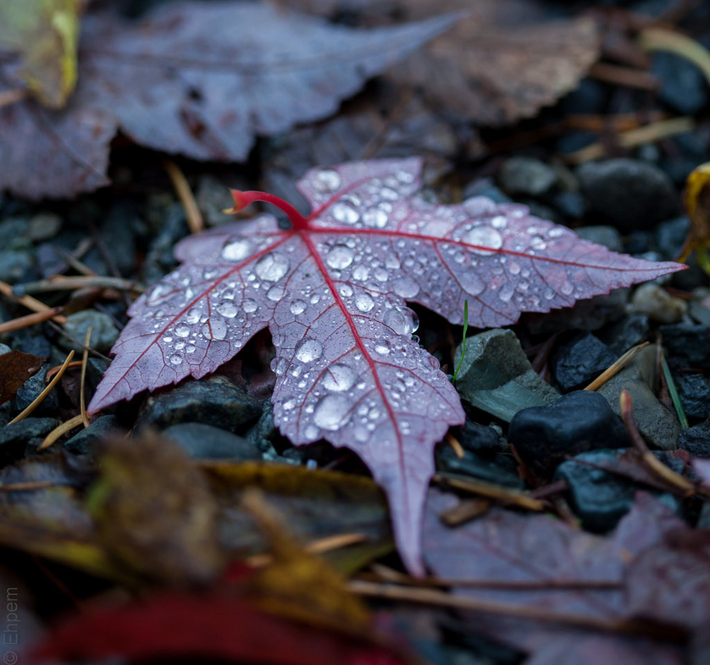 Drawn water droplets leave Embers burnt Leaf Maple 3