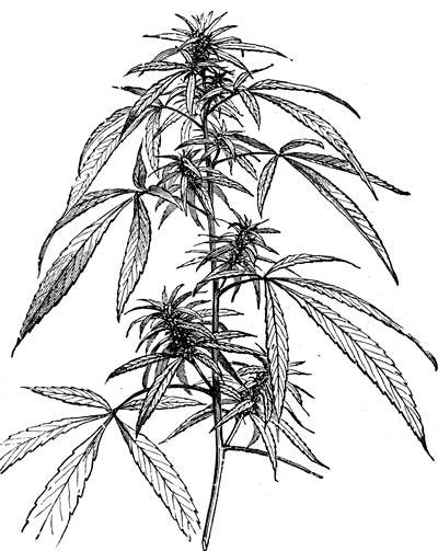 Drawn weed hemp leaf Of 1 of Part Cannabis
