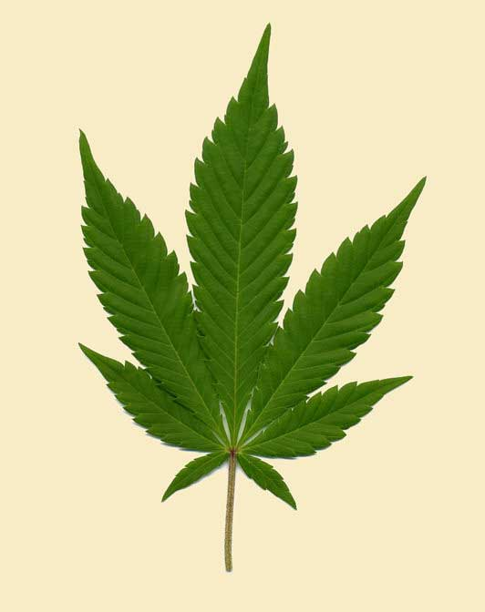Drawn pot plant indica leaf VapeNation to 101: Cannabis History