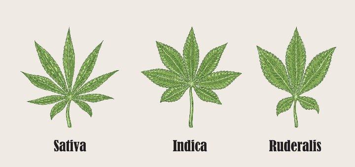 Drawn pot plant indica leaf Science is What Leaf Cannabis