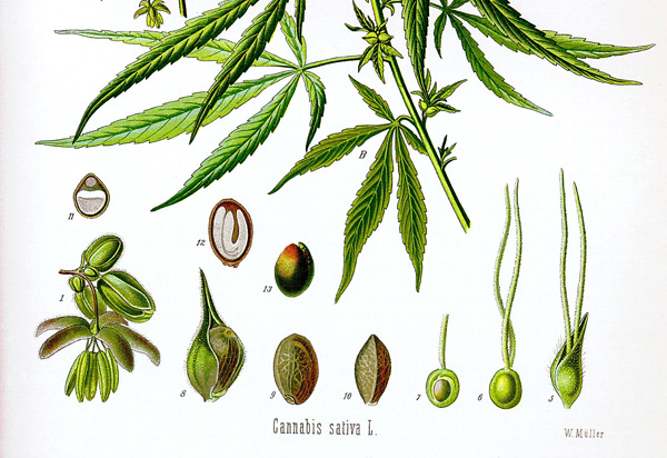 Drawn weed pill It for The Cannabis: Bark