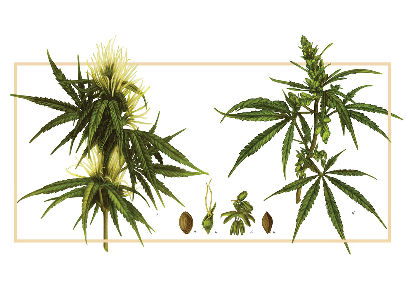 Drawn weed real Is known on its botanical