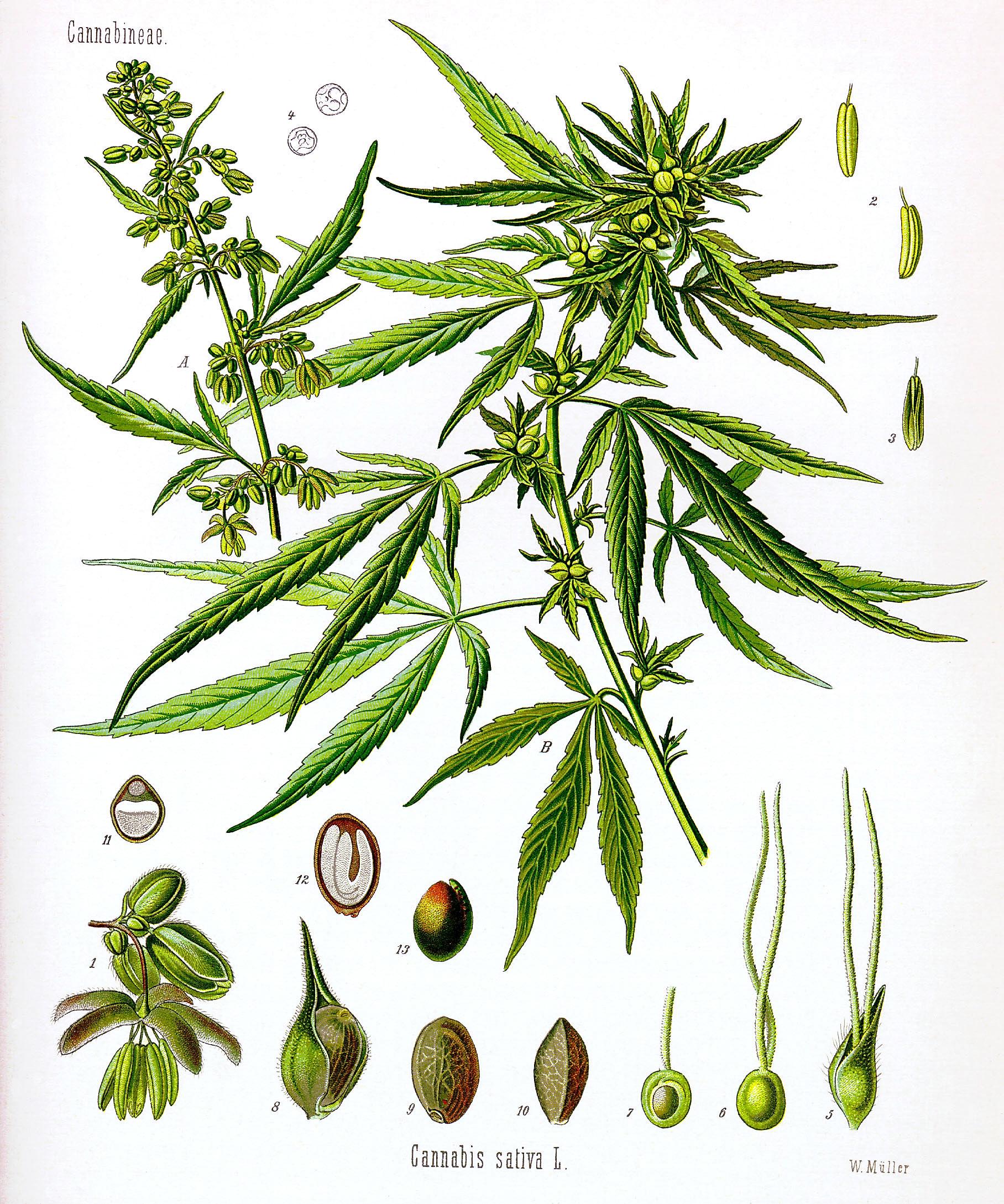 Drawn pot plant rasta Drawing sativa Commons drawing Wikimedia