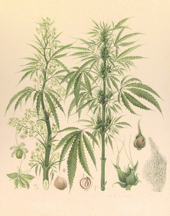 Drawn pot plant sativa Pin Pinterest images Cannabis this