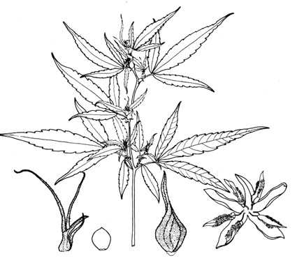 Drawn pot plant sativa And herbs : Medicine herbs