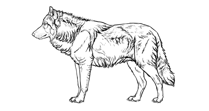 Drawn werewolf different Head to Wolf: How and
