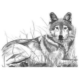 Drawn werewolf majestic Riding hood Majestic OnlineCoolGifts Pencil